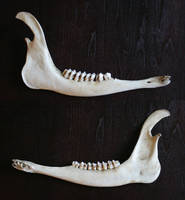bones 16: deer lower jaw