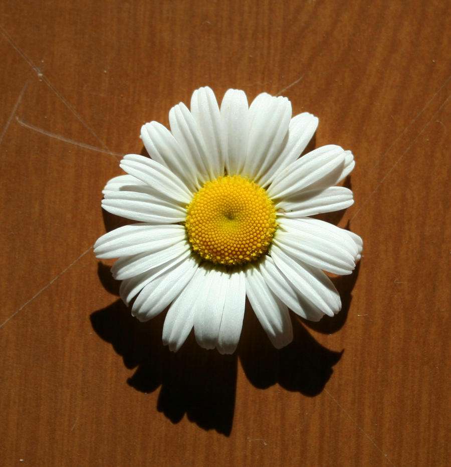 flower 19: daisy