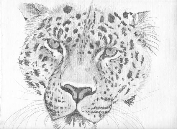 Leopard Pencil Drawings Original Leopard Pencil SKetch