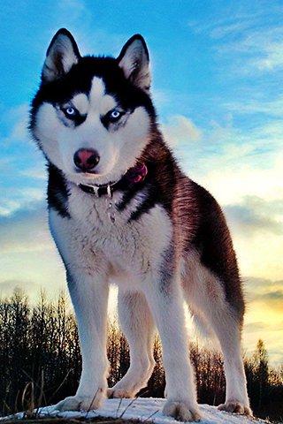 Siberian-husky-wallpapers-15eee1-h900