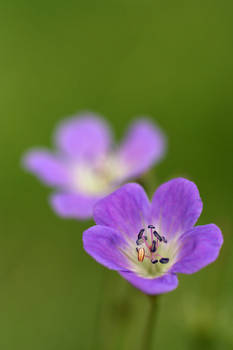 .: Little violet :.