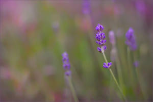 .: Lavender :. by Katosu