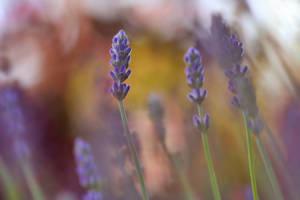 .: Lavender II :. by Katosu