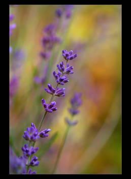 .: Lavender III :.