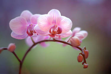 .: Orchid :.