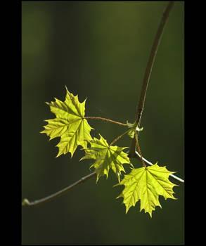 .: Maple tree :. III