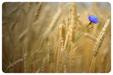 .: Field of gold :.