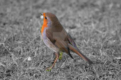 Robin by IanHarryWebb