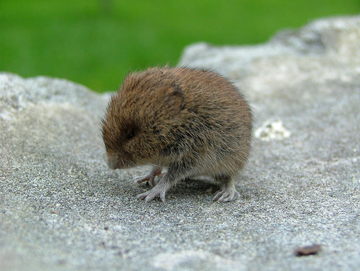 wild baby mouse by jonmusk