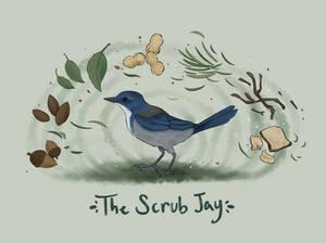 The Scrub Jay