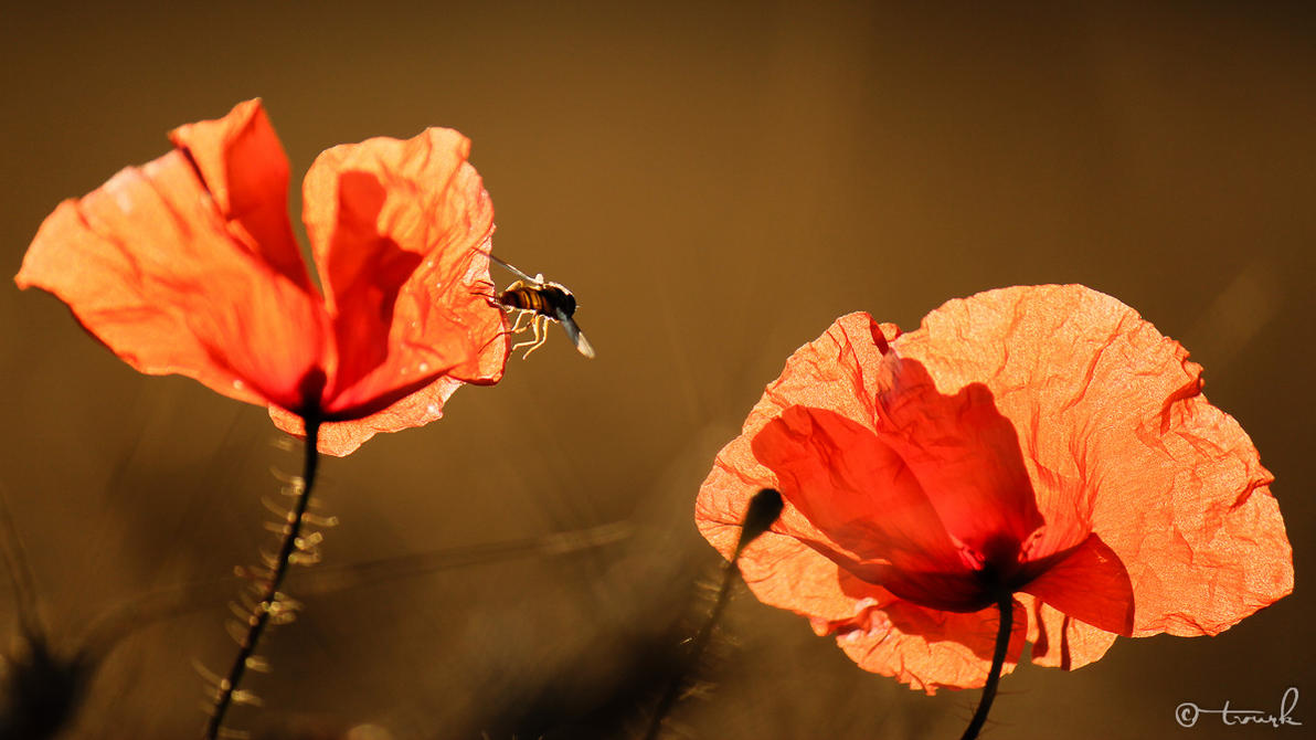 Illuminated Poppies by tvurk