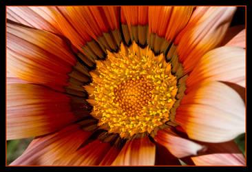 Flower in Mums Garden I by muffinman07