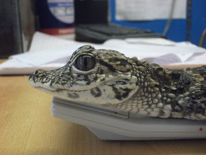 La nouvelle sacoche, nouveau genre Baby_chinese_alligator_by_perrytheplatypus-d3g6m4t