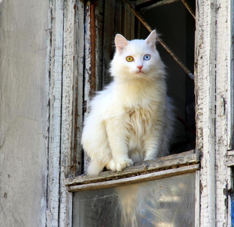 IMAGE: https://pre00.deviantart.net/60c8/th/pre/i/2015/096/c/5/russian_van_cat_by_rbnsncrs-d8oonws.jpg