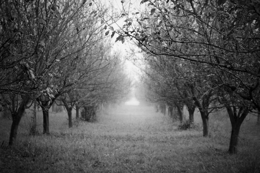 The Apple Trees II by BoiledFrog