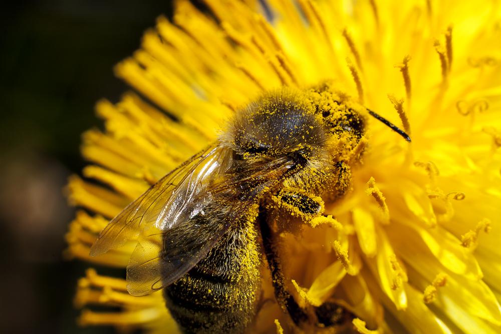 Bee on dandelion by BoiledFrog