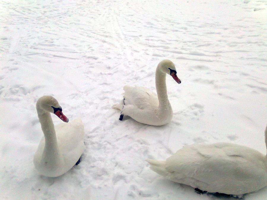 Swans wallpaper > Swans Papel de parede > Swans Fondos