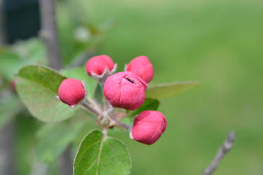 Crab-apple Blossoms IV