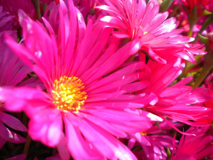 Bright pink flowers by jayjay the jetplane on deviantart bright pink flowers by jayjay the jetplane mightylinksfo