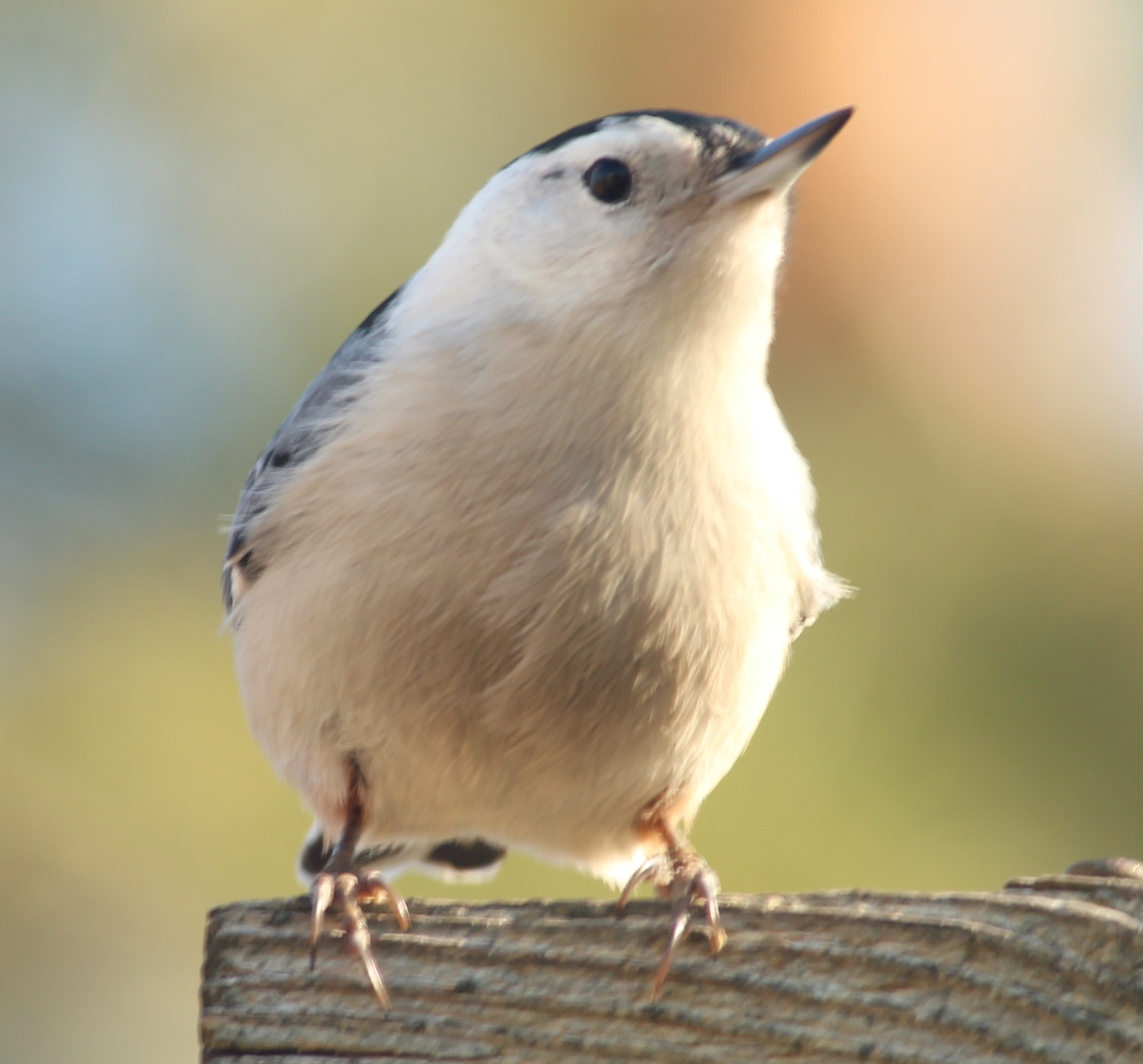 white breasted nuthatch by Laur720