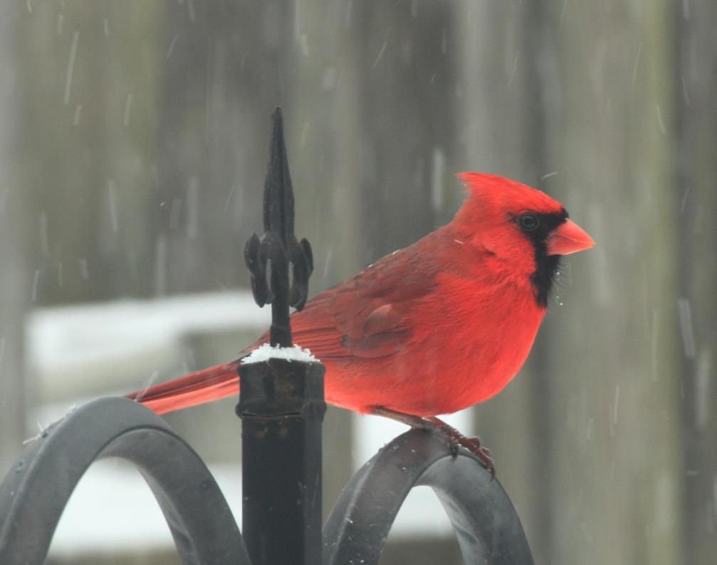 male cardinal by Laur720