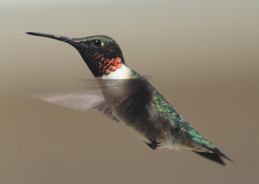 male ruby throated hummingbird by Laur720