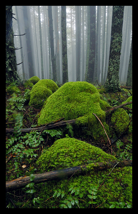 Mossy Foggy Forest by hikester