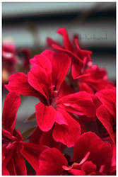 red flowers. by lalivalmont