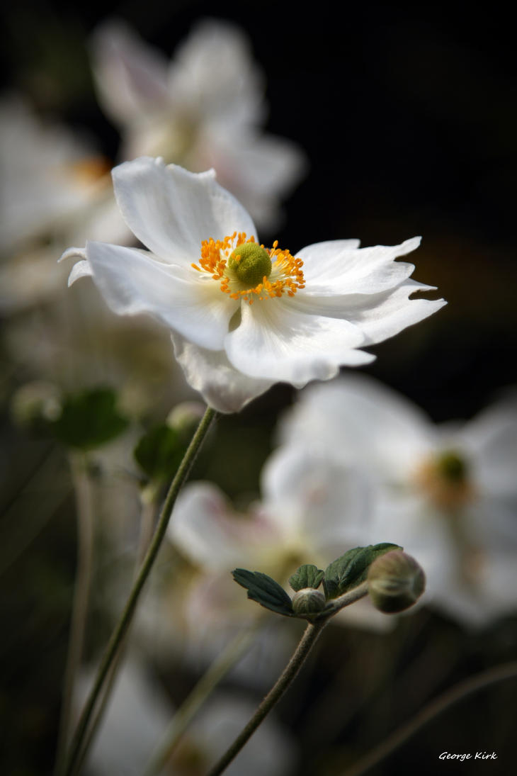 white japanese anemone honorine jobert 39 by george kirk. Black Bedroom Furniture Sets. Home Design Ideas