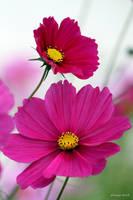 Flowering Cosmos by George---Kirk