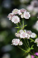 Astrantia by George---Kirk