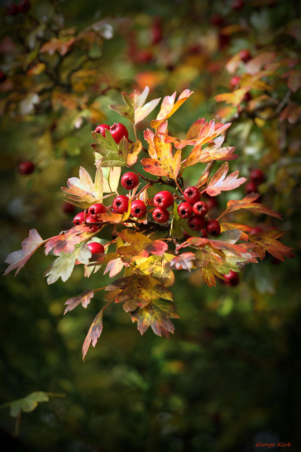 Hawthorn Berries by George---Kirk