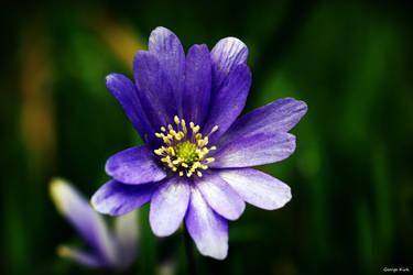 Anemone Blanda Blue by George---Kirk