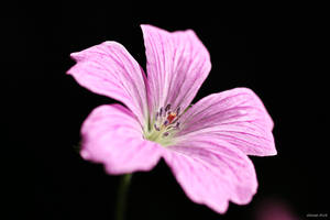 Mallow by George---Kirk