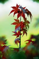 Japanese Acer