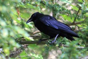 Crow by George---Kirk