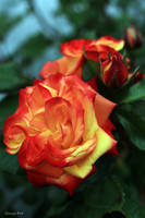 Good year for the Roses by George---Kirk