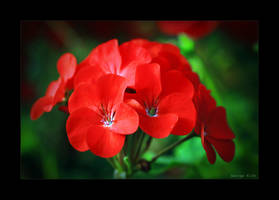 November Geranium by George---Kirk