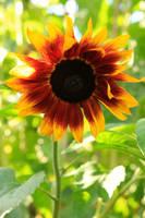 Sunflower by George---Kirk