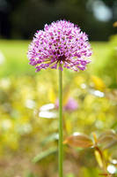 Purple Allium by George---Kirk