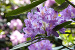 Rhododendron May
