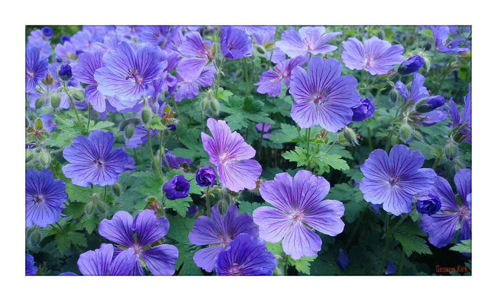 Hardy blue Geranium by George---Kirk