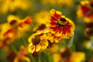 Rudbeckia by George---Kirk