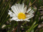 bug in mountain daisy