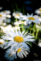 daisies by stranj