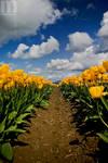 tulip festival v2 by stranj