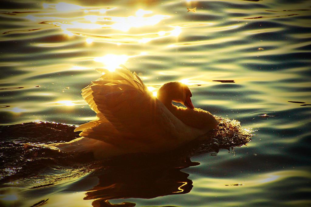swan romance by MT-Photografien