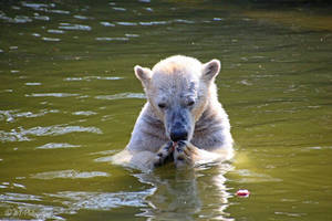 cuddlybear or rather polarbear ? by MT-Photografien