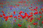 cornflowers and poppies by MT-Photografien