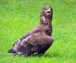 steppe eagle 1